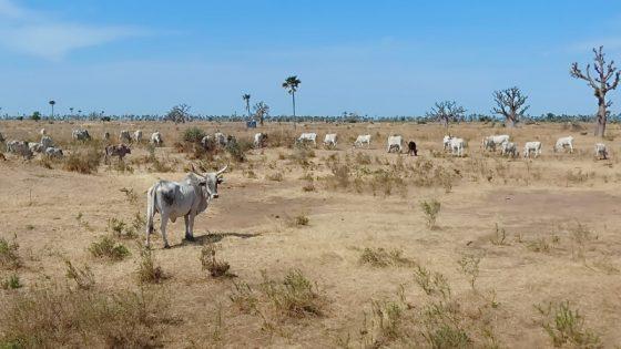 Grasland in Äthiopien mit Zebu-Rindern